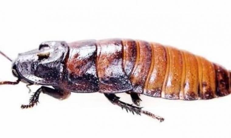 ΦΡΙΚΗ: Γιατροί έβγαλαν από το αυτί του μια κατσαρίδα!