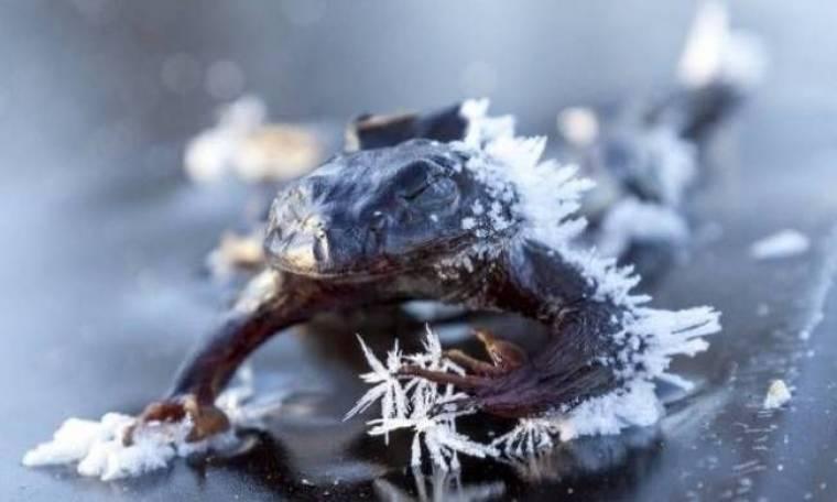 Ο βάτραχος που πάγωσε αναζητώντας ταίρι (pics)