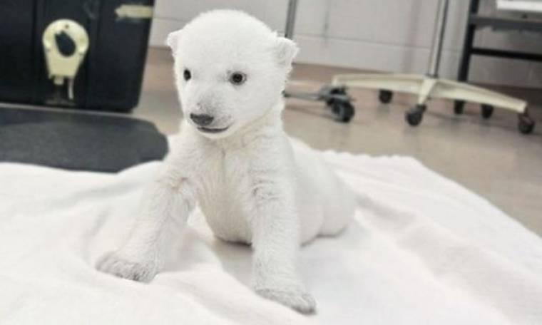 Mωρό-αρκουδάκι κάνει τα πρώτα του βήματα! Δείτε το τρυφερό βίντεο