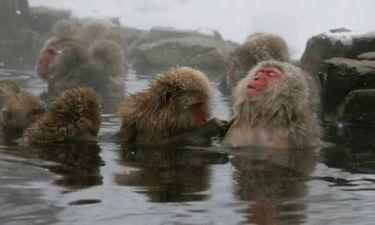 Πίθηκοι χαλαρώνουν σε θερμές πηγές! (photos)