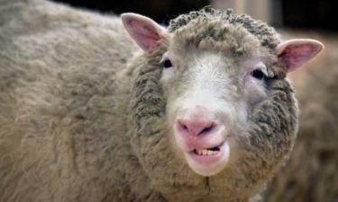 Χιλιάδες πρόβατα πήραν... ηρωίνη και αυτοκτόνησαν!