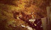 Τραγουδιστής δέχθηκε επίθεση από αλεπού