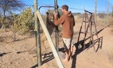 Δεν θα πιστεύετε τι γίνεται όταν το λιοντάρι βγαίνει από το κλουβί