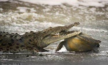 Κροκόδειλος καταβροχθίζει... (σκληρές εικόνες)