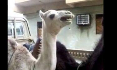 Δείτε την καμήλα που… γελά από τα γαργαλητά
