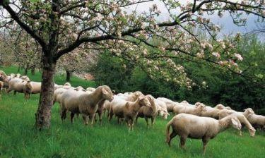 Απίστευτο: Βγάζουν σε δημοπρασία μέχρι και πρόβατα!