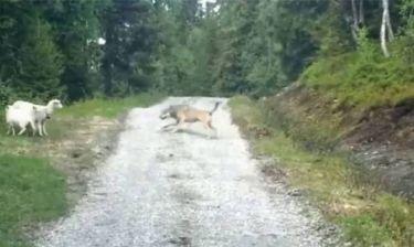 Όταν τα πρόβατα τρόμαξαν το λύκο (Video)
