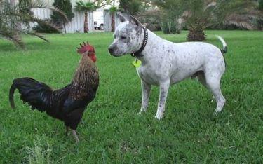 Σκύλος συναντάει κόκορα (video)