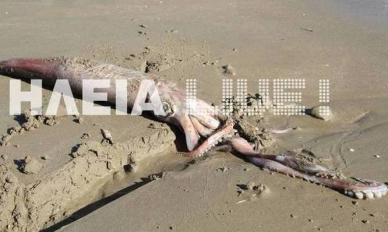 Ξεβράστηκε γιγάντιο καλαμάρι στο Κατάκολο! (pics)