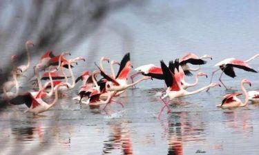 Εντυπωσιακό θέαμα: Τα φλαμίνγκο στη λίμνη Βιστωνίδα (pics)
