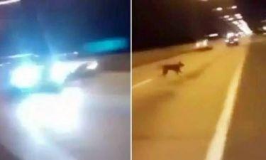 Χιλή: Τηλεμεταφερόμενος...σκύλος γλίτωσε από βέβαιο θάνατο (video)