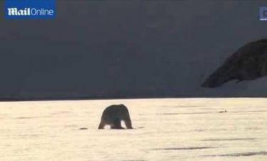 Το αβέβαιο βήμα της πολικής αρκούδας (video)