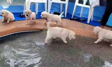 Αυτά τα κουτάβια ανακαλύπτουν το κολύμπι (video)