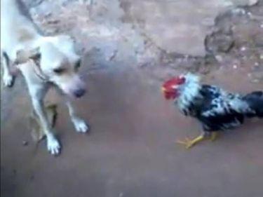 Ποιον είπες κότα, ε; Ο κόκορας που δε «μασάει» (video)