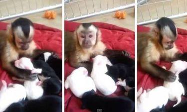 Μαϊμού συναντά κουτάβια για πρώτη φορά (video)