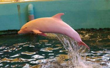Ιαπωνία: Δελφίνι αλμπίνο γίνεται… ροζ όταν αλλάζει η διάθεσή του! (video)