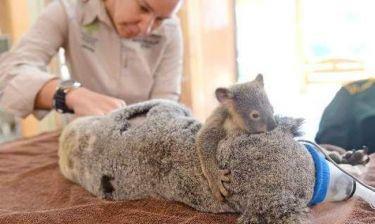 Δείτε το και δακρύστε! Μωρό κοάλα αγκαλιάζει την μαμά του που κάνει επέμβαση
