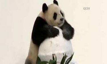 Panda στο χιόνι