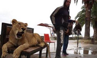 Λιοντάρι βγήκε βόλτα στους δρόμους του Ντουμπάι