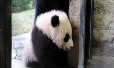 Ένα μωρό panda που νομίζει πως είναι γάτα!