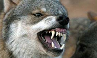 Ρώσος στραγγάλισε λυσσασμένο λύκο