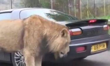 Τρελό: Λιοντάρι… μασούλησε αυτοκίνητο! (video)