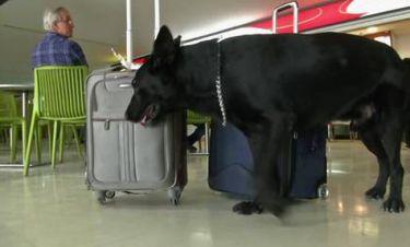 Έτσι παραπλανούν οι έμποροι ναρκωτικών τα αστυνομικά σκυλιά