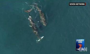 Δελφίνια σε ρόλο θηρευτή κυνηγούν καρχαρία