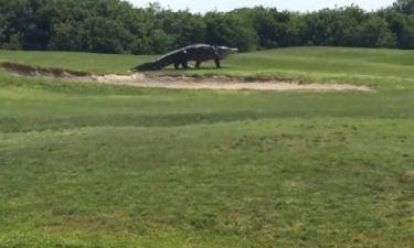 Απίστευτο! Γιγάντιος αλιγάτορας κάνει βόλτα σε γήπεδο γκολφ! (video)