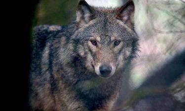 Ρέμπελ, ο λύκος που είχε χειρότερη τύχη και από τον Χαράμπε