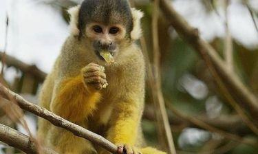 Η μαϊμού που προκάλεσε μπλακ άουτ σε μια ολόκληρη χώρα