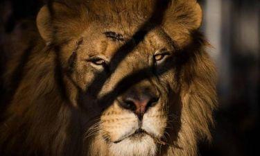 Θαρραλέα μητέρα εξουδετέρωσε λιοντάρι και έσωσε τον 5χρονο γιο της