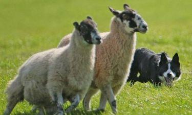 Οι χάρτες και τα ...πρόβατα