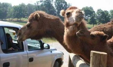 Πώς μια 10χρονη κέρδισε σημαντικό ποσό από ένα δάγκωμα καμήλας...