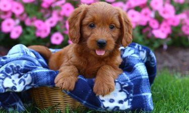 Παγκόσμια Ημέρα των Ζώων: Μάθετε ποιες είναι οι 10 ράτσες «υποαλλεργικών» σκύλων