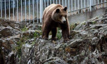 Αρκούδες έκαναν βόλτες στην Καστοριά και έπαιζαν σε παιδική χαρά