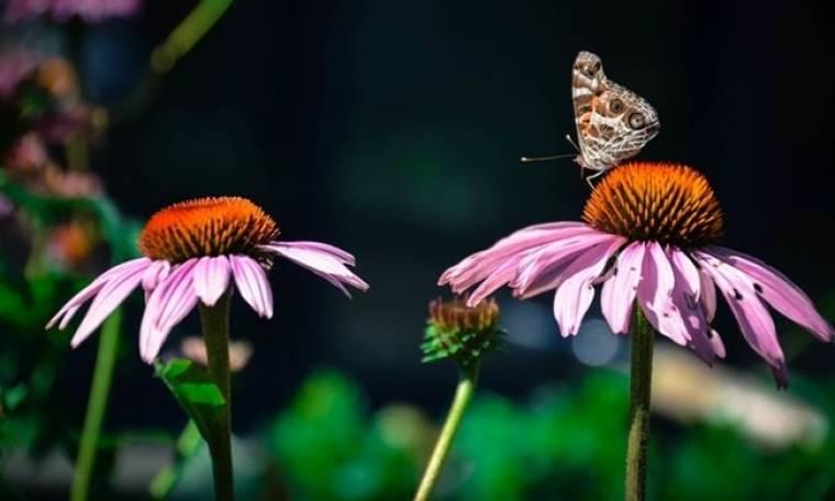 Το μικρό ροζ λουλούδι που θα σε βοηθήσει να διώξεις το κρυολόγημα!