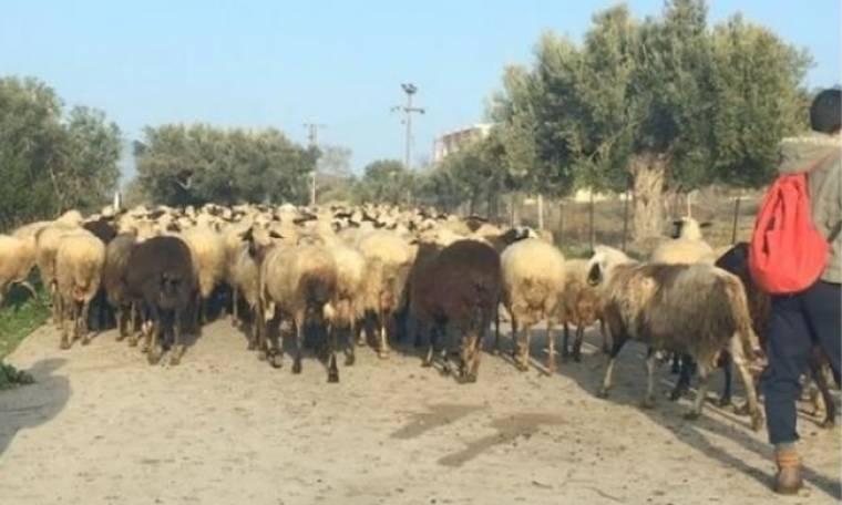 Ηθοποιός συνάντησε ένα κοπάδι πρόβατα πηγαίνοντας στη δουλειά της