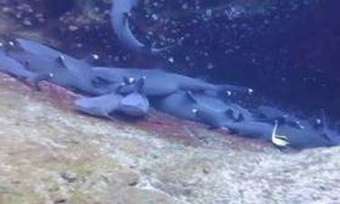 Καρχαρίες κοιμούνται αγκαλιά