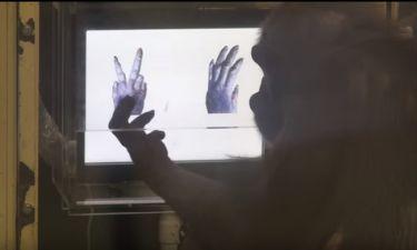 Αυτός ο χιμπατζής παίζει πέτρα-ψαλίδι-χαρτί και είναι ανίκητος