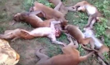 Μυστήριο στη ζούγκλα με τον αιφνίδιο θάνατο δώδεκα πιθήκων και τον πιθανό ρόλο μιας τίγρης (vid)