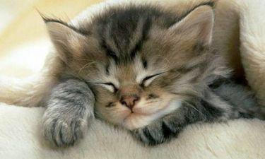 Χαριτωμένο γατάκι δεν μπορεί να αποφασίσει αν θέλει να κοιμηθεί ή να παίξει (vid)