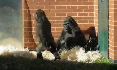 Βίντεο για πολλά γέλια! Δείτε μια βόλτα χιμπατζήδων μέσα σε πάρκο!
