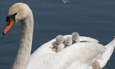 Απίστευτα πλάνα: Οικογένεια κύκνων σταμάτησε την κυκλοφορία σε δρόμο της Δανίας (vid)
