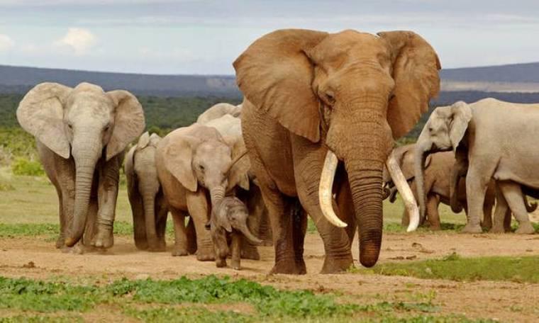 Αφρική: Νεκροί σχεδόν 90 ελέφαντες από λαθροκυνηγούς (vid)