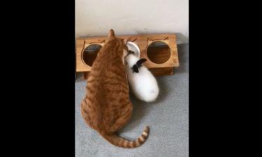 Η αντίδραση της γάτας όταν το κουνέλι πηγαίνει στο φαγητό της