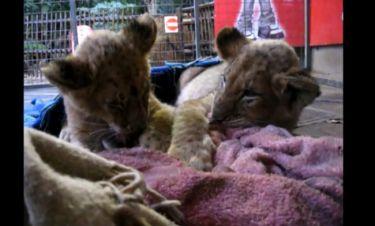 Δεν φαντάζεστε γιατί μαλώνουν τα λιονταράκια