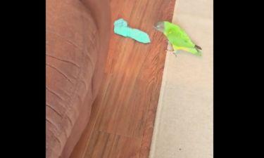 Αυτός ο παπαγάλος τρελαίνεται να... κλέβει τις κάλτσες του αφεντικού του!