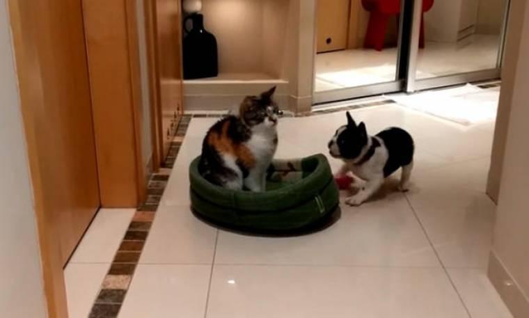 Δείτε πώς ένας σκύλος παίρνει με δόξα και τιμή το κρεβατάκι της γάτας