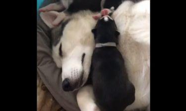 Αυτά τα νεογέννητα κουτάβια κοιμούνται όπου βρουν
